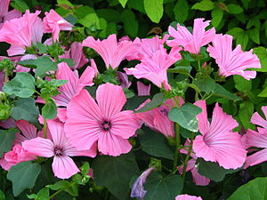 Lavatera trimestris 'Pink Beauty'