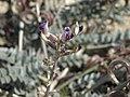 Layne milkvetch, Astragalus layneae (15707807335).jpg