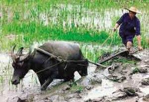 Peak water - Working rice paddies