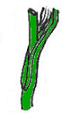 Leaf morphology Embeinadora.PNG