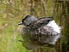 Least Grebe - breeding plumage