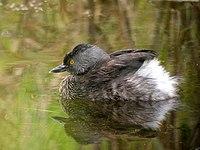 Least Grebe - breeding plumage.jpg