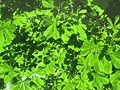 Leaves of Aesculus hippocastanum.JPG