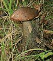 Leccinum scabrum (Brown birch bolete) - Flickr - S. Rae.jpg