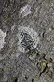 Lecidella elaeochroma 66914645.jpg