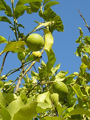 Economy of Northern Cyprus - Lemons in Northern Cyprus. Citrus is the good that Northern Cyprus exports the most.