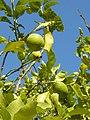 Lemons North Cyprus.jpg