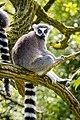 Lemur (26762615377).jpg