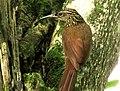 Lepidocolaptes souleyetii (Trepador campestre) (13984975550).jpg
