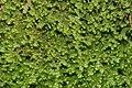 Lepidozia reptans (c, 144809-474702) 8660.JPG