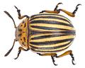 Leptinotarsa decemlineata (Say, 1824) (14198132866).png
