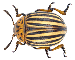 Leptinotarsa decemlineata (Say, 1824) (14198132866)
