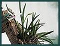 Leptotes bicolor - panoramio.jpg