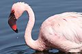 Lesser Flamingo, Phoenicopterus minor at Marievale Nature Reserve, Gauteng, South Africa (27289582834).jpg
