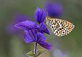 Lesser Spotted Fritillary - Melitaea trivia fascelis.jpg