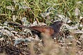 Lesser coucal (Centropus bengalensis) 77.jpg