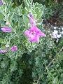 Leucophyllum frutescens flower 1.jpg