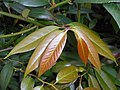Leucothoe fontanesiana 2017-06-25 3016.jpg