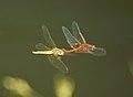 Libelulas dragonfly - in flight sex - (249928915).jpg