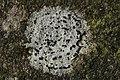 Lichen (40633458221).jpg