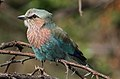 Lilac-breasted Roller, Coracias caudatusat Pilanesberg National Park, Northwest Province, South Africa (16862982073).jpg