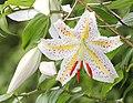 Lilium auratum (flower s3).jpg