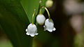 Lily of the Valley (Convallaria majalis) - Mississauga, Ontario.jpg