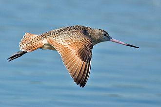 Marbled godwit - Image: Limosa fedoa flight