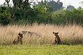 Lion cubs - Queen Elizabeth National Park, Uganda.jpg