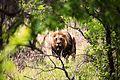 Lion male 1.jpg