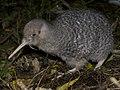 Little-spotted kiwi (Apteryx owenii) (cropped).jpg