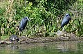 Little Blue Herons (34191915181).jpg
