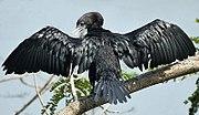 Little Cormorant, a resident breeding species