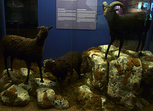Lítla Dímun - Image: Little Dímun sheep