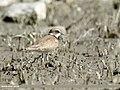 Little Ringed Plover (Charadrius dubius) (44751966515).jpg