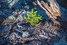 Little spruce.jpg