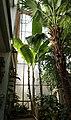 Livingstonpalme (Livistona australis) Banane (Musa × paradisiaca) Blumengärten Hirschstetten Wien 2014.jpg
