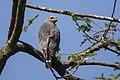 Lizard buzzard (Kaupifalco monogrammicus).jpg