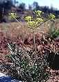 Lomatiumcongdonii.jpg
