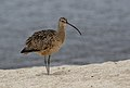 Long-billed curlew, Numenius americanus, Moss Landing (Elkhorn Slough and beach), California, USA. (30917816376).jpg