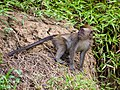 Long-tailed (or Crab-eating) Macaque (14157337315).jpg