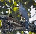 Long-tailed Hawk - Bobiri - Ghana 14 S4E3156 (cropped).jpg