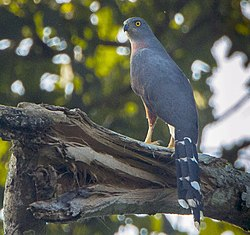Long-tailed Hawk - Bobiri - Ghana 14 S4E3156 (cropped).jpg