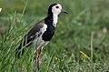 Long-toed lapwing, Vanellus crassirostris, Chobe National Park, Botswana (33064690784).jpg