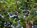 Look Up! (HONG KONG-TREES-PARK-NATURE) XV (7327249900).jpg