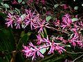 Loropetalum chinense var rubrum, blomme, Manie van der Schijff BT, c.jpg