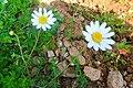 Lulja Kamomilit,shume e perhapur ne Kukes.JPG