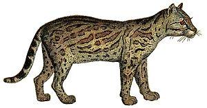 Bear - Ocelot