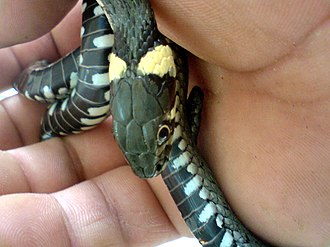 "Grass snake - A specimen ""in the hand"", showing the distinctive yellow collar"
