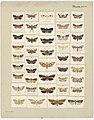 MA I437625 TePapa Plate-XXVI-The-butterflies full.jpg